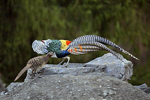 Lady Amherst's Pheasant (Chrysolophus amherstiae) male in courtship display with female, Sichuan, China - Eric Sohn Joo Tan/ BIA