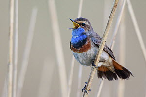 White-spotted Bluethroat (Luscinia svecica cyanecula) male calling, Netherlands  -  Hans Glader/ BIA