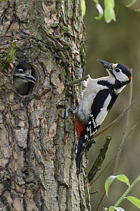 Great Spotted Woodpecker (Dendrocopos major) father with juvenile in nest cavity, North Rhine-Westphalia, Germany - Ralf Kistowski/ BIA