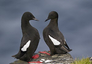 Black Guillemot (Cepphus grylle) pair, Kalsoy, Faroe Islands - Chris Romeiks/ BIA