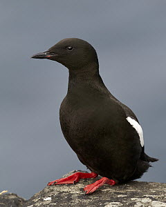 Black Guillemot (Cepphus grylle), Kalsoy, Faroe Islands - Chris Romeiks/ BIA