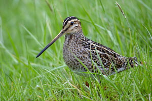 Common Snipe (Gallinago gallinago), Kalsoy, Faroe Islands - Chris Romeiks/ BIA