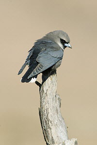 Black-faced Woodswallow (Artamus cinereus), South Australia, Australia - Rob Drummond/ BIA