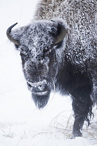 American Bison (Bison bison) female covered with frost in winter, Yellowstone National Park, Montana - Sebastian Kennerknecht
