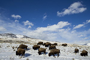 American Bison (Bison bison) herd grazing in winter, Gardiner, Yellowstone National Park, Montana - Sebastian Kennerknecht