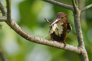 White-throated Kingfisher (Halcyon smyrnensis) with frog prey, Diyasaru Park, Colombo, Sri Lanka - Sebastian Kennerknecht