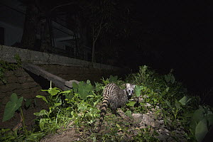 Small Indian Civet (Viverricula indica) near house at night, Colombo, Sri Lanka - Sebastian Kennerknecht