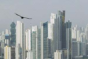 American Black Vulture (Coragyps atratus) flying near skyscrapers, Ancon Hill, Panama City, Panama - Sebastian Kennerknecht