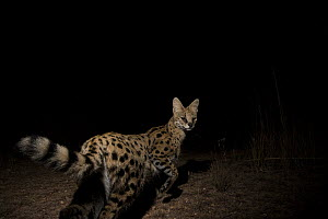 Serval (Leptailurus serval) at night, Kafue National Park, Zambia - Sebastian Kennerknecht