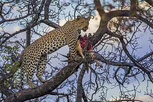 Leopard (Panthera pardus) female feeding on sub-adult male Impala (Aepyceros melampus) prey in tree, Greater Makalali Private Game Reserve, South Africa - Sebastian Kennerknecht