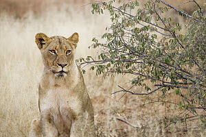 African Lion (Panthera leo) female, Greater Makalali Private Game Reserve, South Africa  -  Sebastian Kennerknecht