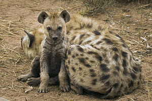 Spotted Hyena (Crocuta crocuta) five month old male pup with mother, Kruger National Park, South Africa - Sebastian Kennerknecht