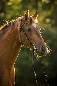 Andalusian Horse (Equus caballus) in bridle, Netherlands - Heike Odermatt
