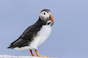 Atlantic Puffin (Fratercula arctica) with fish prey, Vigur Island, Iceland  -  Andrew Peacock