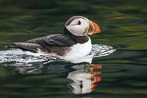 Atlantic Puffin (Fratercula arctica), Aedey Island, Iceland  -  Andrew Peacock
