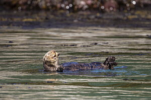 Sea Otter (Enhydra lutris), Inian Islands, Icy Strait, Alaska  -  Andrew Peacock