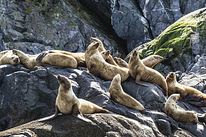 Steller's Sea Lion (Eumetopias jubatus) group hauled out on rocks, Inian Islands, Icy Strait, Alaska  -  Andrew Peacock