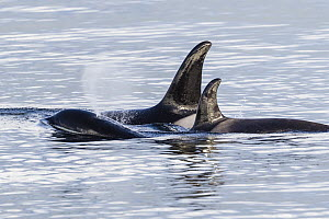 Orca (Orcinus orca) females surfacing, Chatham Strait, Alaska  -  Andrew Peacock