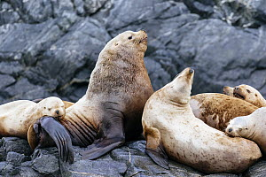 Steller's Sea Lion (Eumetopias jubatus) male with females, Inian Islands, Icy Strait, Alaska  -  Andrew Peacock