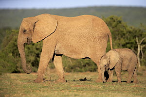 African Elephant (Loxodonta africana) mother and calf, Addo National Park, South Africa  -  Juergen & Christine Sohns