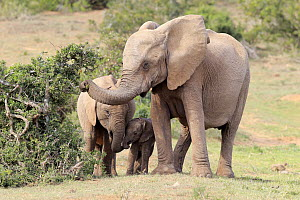 African Elephant (Loxodonta africana) mother browsing with calves, Addo National Park, South Africa  -  Juergen & Christine Sohns