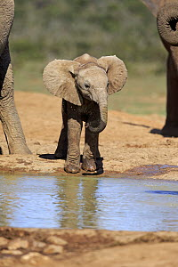 African Elephant (Loxodonta africana) calf drinking at waterhole, Addo National Park, South Africa - Juergen & Christine Sohns