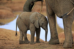 African Elephant (Loxodonta africana) calf, Addo National Park, South Africa  -  Juergen & Christine Sohns
