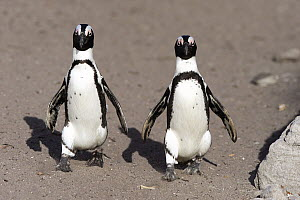 Black-footed Penguin (Spheniscus demersus) pair on beach, Betty's Bay, Stony Point Nature Reserve, South Africa  -  Juergen & Christine Sohns