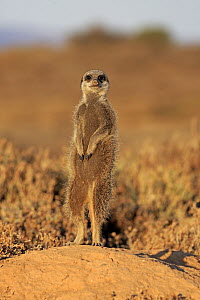 Meerkat (Suricata suricatta) on guard, Oudtshoorn, South Africa - Juergen & Christine Sohns