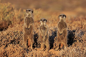 Meerkat (Suricata suricatta) trio on guard, Oudtshoorn, South Africa  -  Juergen & Christine Sohns