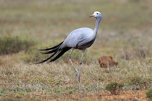 Blue Crane (Anthropoides paradisea), South Africa - Juergen & Christine Sohns