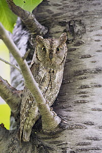 Common Scops-Owl (Otus scops), Aosta Valley, Italy  -  Alain Ghignone/ BIA
