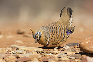 Spinifex Pigeon (Geophaps plumifera) displaying, Northern Territory, Australia  -  Rob Drummond/ BIA