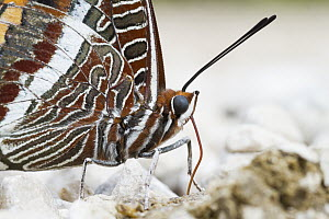 Two-tailed Pasha (Charaxes jasius) butterfly, Bosnia and Herzegovina  -  Ralph Martin/ BIA
