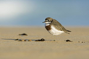 Double-banded Plover (Charadrius bicinctus) on beach, Victoria, Australia - Rob Drummond/ BIA