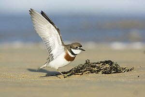 Double-banded Plover (Charadrius bicinctus) flapping, Victoria, Australia - Rob Drummond/ BIA