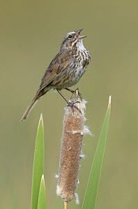 Song Sparrow (Melospiza melodia) calling from a cattail, British Columbia, Canada  -  Alan Murphy/ BIA