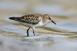 Little Stint (Calidris minuta) foraging, Eilat, Israel - Avi Meir/ BIA