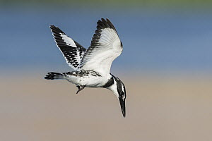 Pied Kingfisher (Ceryle rudis) flying, Eilat, Israel - Avi Meir/ BIA