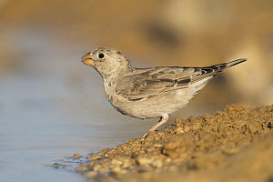 Trumpeter Finch (Bucanetes githagineus) female drinking at waterhole, Negev, Israel - Avi Meir/ BIA