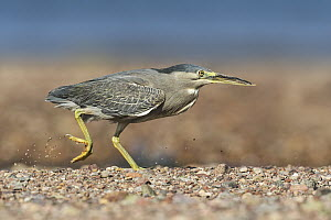 Striated Heron (Butorides striata) foraging, Eilat, Israel - Avi Meir/ BIA
