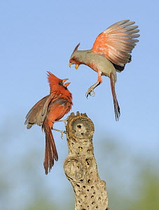 Northern Cardinal (Cardinalis cardinalis) male and Pyrrhuloxia (Cardinalis sinuatus) male fighting, Texas - Alan Murphy/ BIA