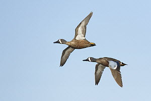 Blue-winged Teal (Anas discors) males flying, Texas  -  Alan Murphy/ BIA