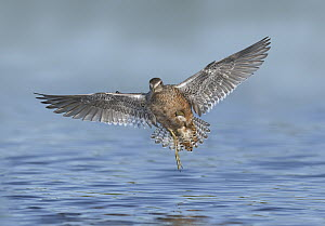 Long-billed Dowitcher (Limnodromus scolopaceus) flying, Texas - Alan Murphy/ BIA