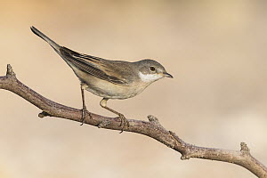 Lesser Whitethroat (Sylvia curruca), Eilat, Israel  -  Avi Meir/ BIA