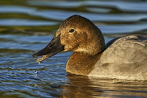 Canvasback (Aythya valisineria) female, Arizona  -  E.J. Peiker/ BIA