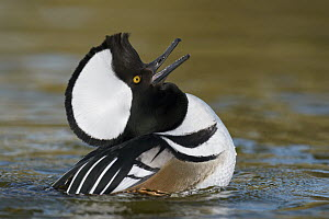 Hooded Merganser (Lophodytes cucullatus) male in courtship display, Arizona - E.J. Peiker/ BIA