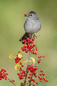 Gray Catbird (Dumetella carolinensis) feeding on berries, Texas - E.J. Peiker/ BIA