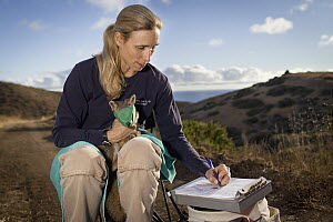 Santa Catalina Island Fox (Urocyon littoralis catalinae) biologist, Julie King, examining fox during vaccination and health check up, Santa Catalina Island, Channel Islands, California  -  Jaymi Heimbuch