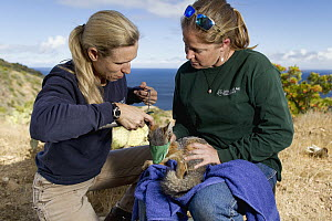 Santa Catalina Island Fox (Urocyon littoralis catalinae) biologists, Julie King and Rebekah Rudy, examining fox during vaccination and health check up, Santa Catalina Island, Channel Islands, Californ...  -  Jaymi Heimbuch